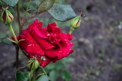 Red rose with three unblown buds covered with drops of dew. stock images