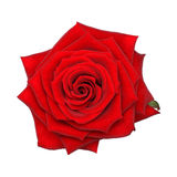 Red rose - top view. Red rose. Flower - top view Royalty Free Stock Photography