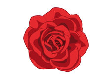 RED ROSE. A red rose from a top view vector illustration