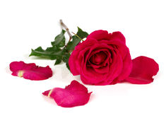 Red rose with torn petals. Red rose with petals torn apart isolated on white stock image