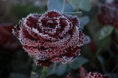Red rose and a touch of frost Royalty Free Stock Images
