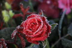 Red rose and a touch of frost Stock Image