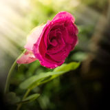 Red rose on tree with sunlight in morning time Stock Photo