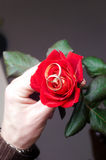 Red rose with two weddings rings. On a bud Stock Photos