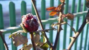 Red Rose under hoar-fros. Frozen flower. Beautiful pink frozen flower late autumn stock photo