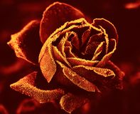 Red Rose under hoar-frost royalty free stock photos