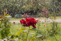 Red rose under rain. Wet roses under water drops Royalty Free Stock Photography