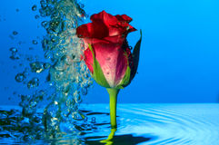 A red rose under water Stock Photo