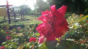 Red rose undrer sun light Royalty Free Stock Images