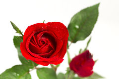 Red rose on valentine day Royalty Free Stock Photo