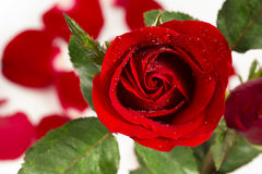 Red rose on valentine day Stock Photography