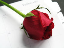 Red Rose for Valentine's. A red rose for valentine's day royalty free stock photos