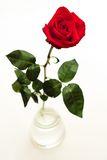 Red rose in vase. On white background stock image