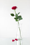 Red rose is in a vase on the mirror surface Stock Images