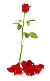 Red rose in vase with petals and beads Stock Photography