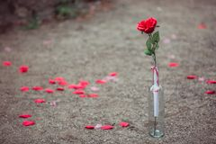 Red rose in the vase surprise Stock Image