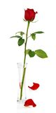 Red rose in vase and two petals Royalty Free Stock Images