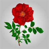 Red rose vector. Rose red flower stem with leaves and blossoms vector illustration Royalty Free Stock Image