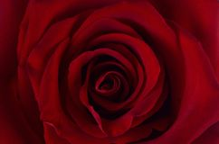 Red rose with velvet petals. Delicate Terry Bud of red summer rose with large velvet petals close-up royalty free stock photo