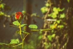 Red rose in vintage faded tones. Red rose in faded tones royalty free stock image