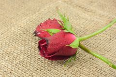 Red rose on vintage sackcloth background. Stock Photo
