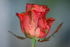 Red rose w/glitter Stock Photography