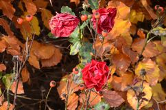 Red roses in autumn royalty free stock image
