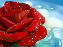 Red Rose Washed with Dew. A beautiful red rose with dew drops Royalty Free Stock Photos