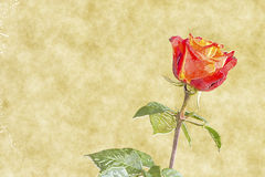 Red rose water color Stock Photo