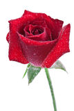 Red rose with water drop Royalty Free Stock Image