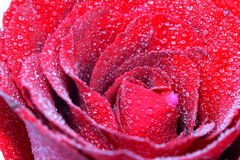 Red rose with water drop Stock Photography