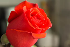 Red rose with a water drop Royalty Free Stock Photography