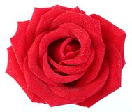 Red rose with water droplet Royalty Free Stock Images