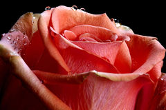 Red rose with water droplets. Stock Photos