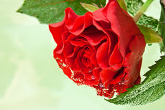 Red rose with water droplets Royalty Free Stock Image