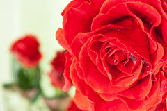 Red rose with water droplets Royalty Free Stock Photography