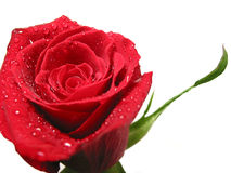 Red rose with water droplets royalty free stock photos