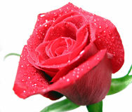 Red rose with water droplets Royalty Free Stock Photo