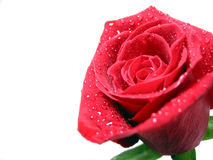 Red rose with water droplets Stock Image