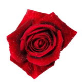 Red rose with water droplets isolated on white Stock Image