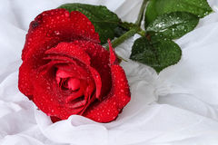 Red rose with water droplets - white background Royalty Free Stock Photo