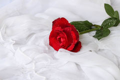 Red rose with water droplets - white background royalty free stock photography