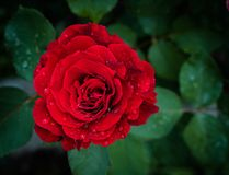 Red rose after rain stock photography