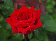 Red rose. With water drops royalty free stock image