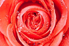Red rose with water drops Stock Images