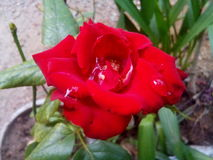 Red rose. Water drops on red rose Stock Photo