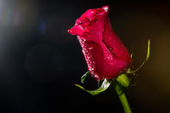 Red rose with water drops Royalty Free Stock Photo