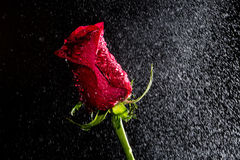 Red rose with water drops Royalty Free Stock Photography