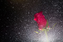 Red rose with water drops Royalty Free Stock Photos
