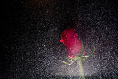 Red rose with water drops Stock Image